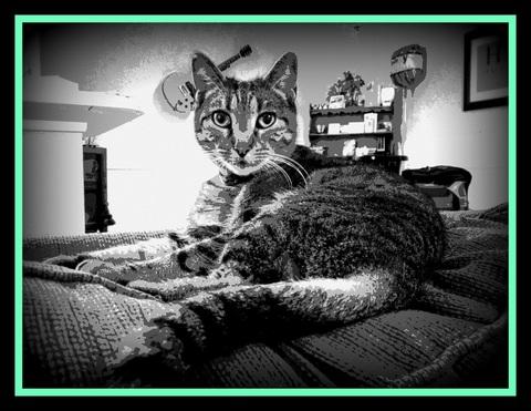 Sassy - Adopt a Less Adoptable Pet Week: FIV+ Cat