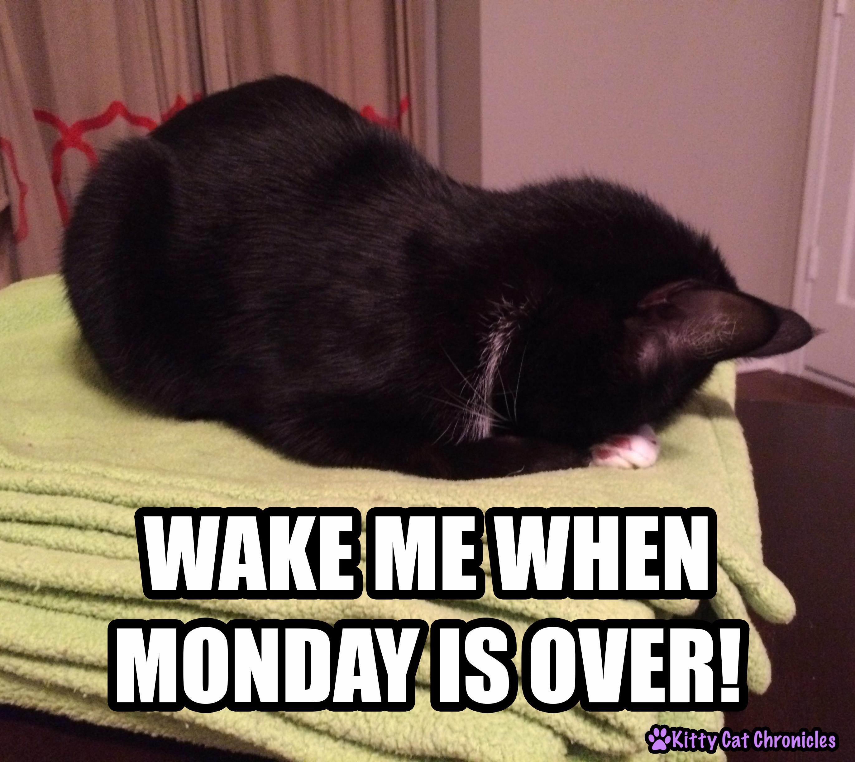 Sampson, Monday Cat Meme