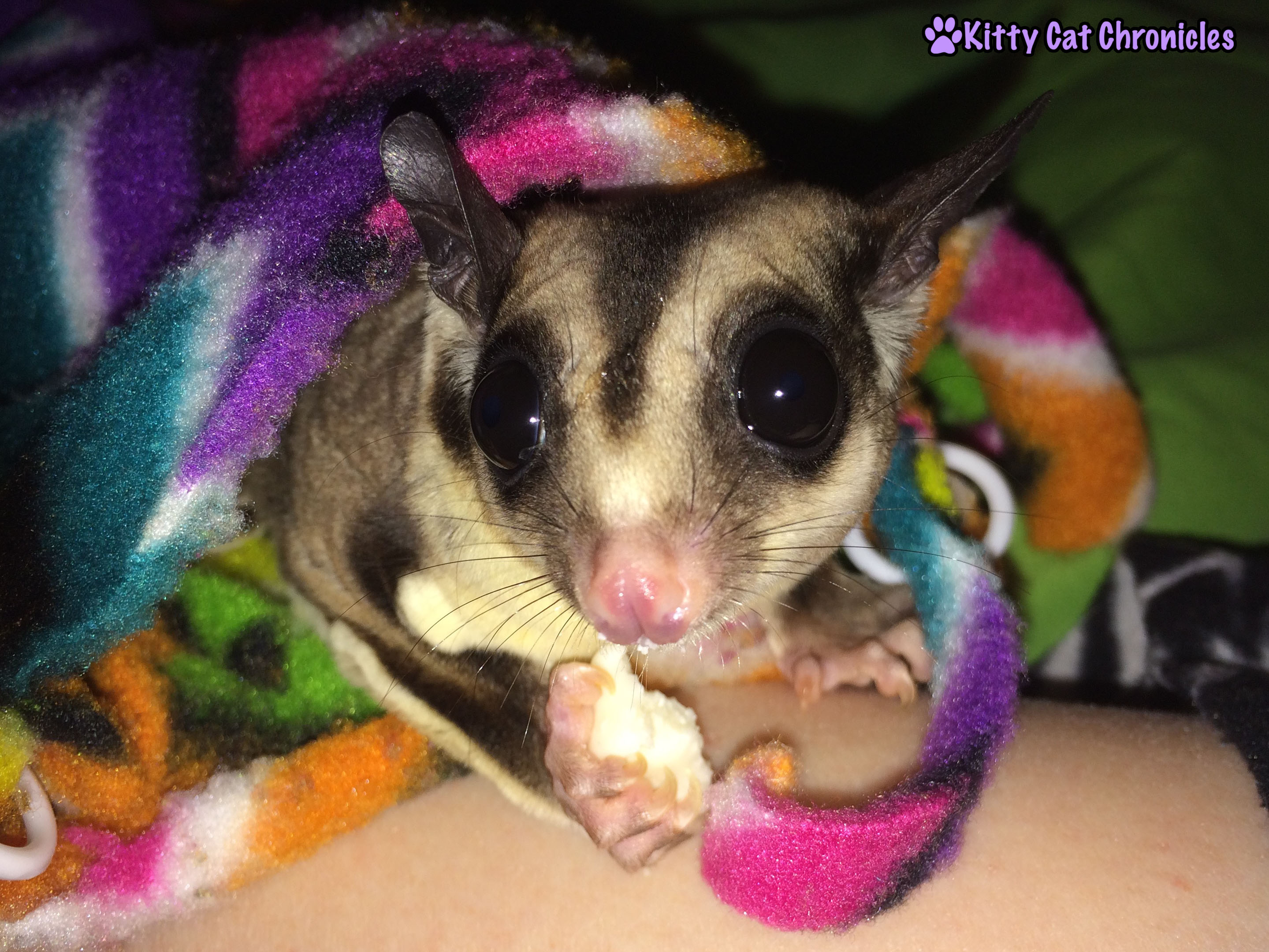 Smiling with Suggies: Jubilee the Sugar Glider with his treat