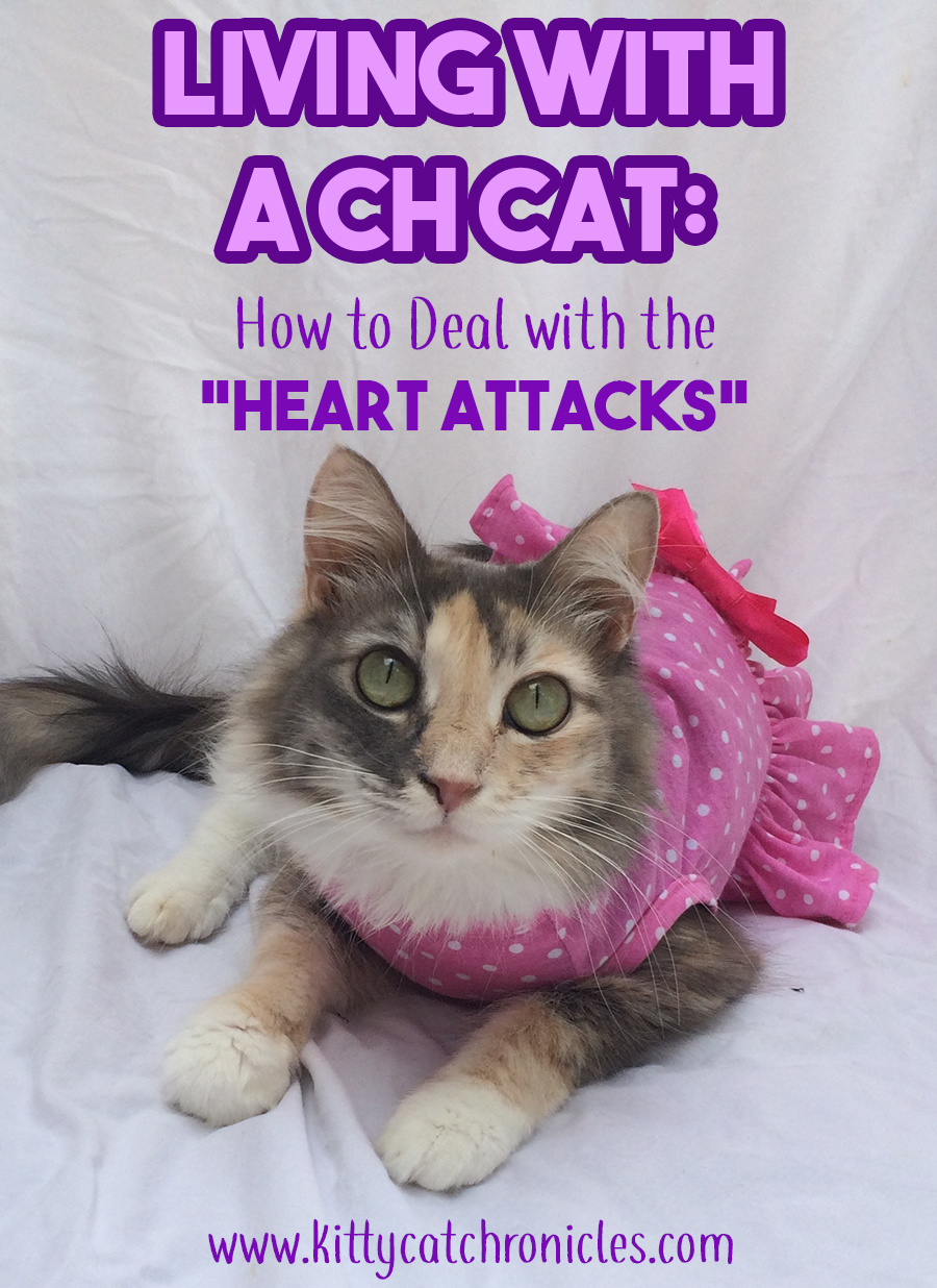 Living with a CH Cat: How to Deal with the Heart Attacks